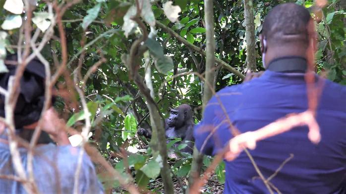 Gorilla Trekking Loango Gabon
