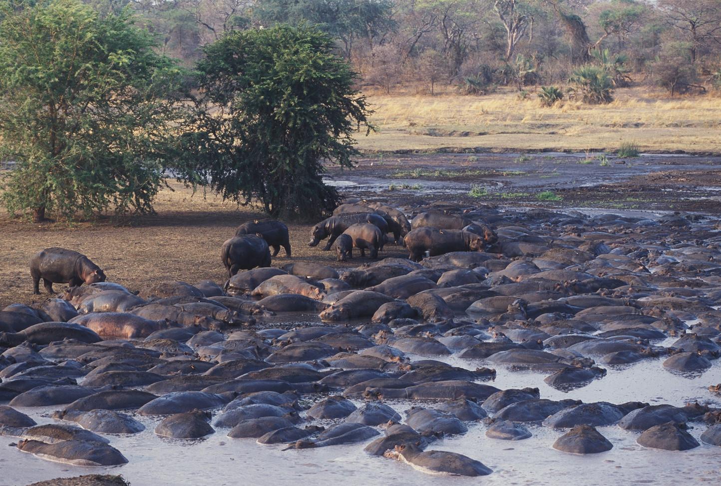 Bloat of Hippos Chada Katavi Tanzania