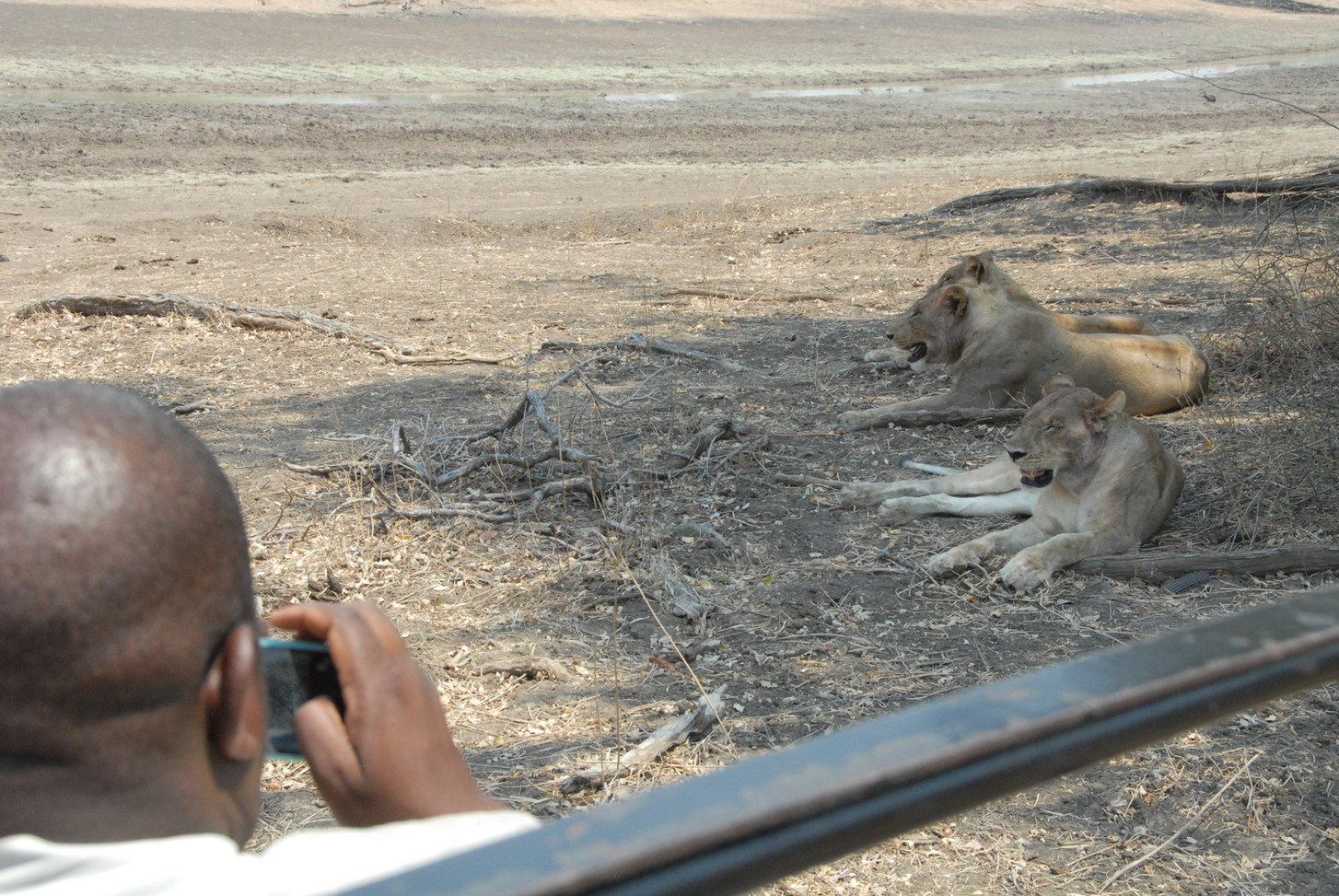 Lion Safari South Luangwa Zikomo Zambia