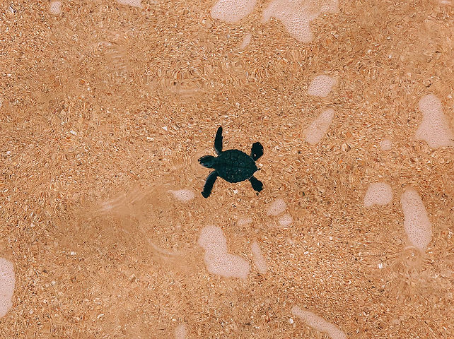 Turtle Hatchling Príncipe