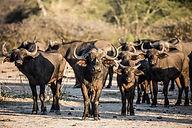 Buffalo Nyere Ruaha Tanzania