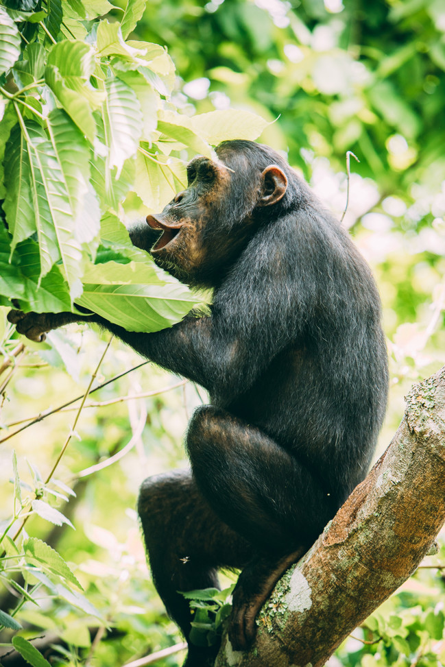 Chimpanzee Vocalising in Greystokes, Mahale, Tanzania
