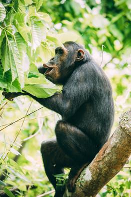 Chimp Vocalising at Greystoke Mahale Tanzania
