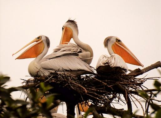 Loango's Pelican Island