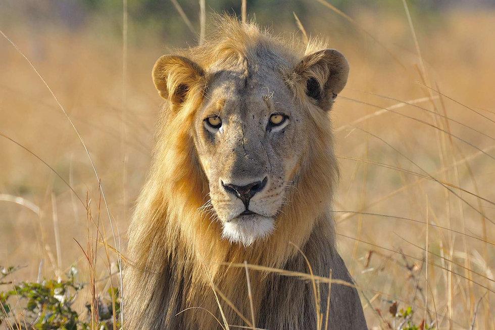 Lion Male Zikomo South Luangwa Zambia