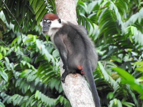 Red Capped Mangabey Loango Gabon