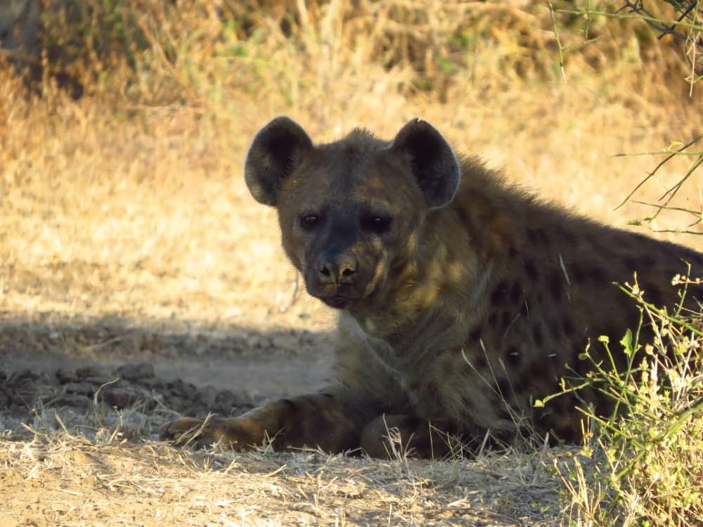 Hyena South Luangwa Zikomo Zambia