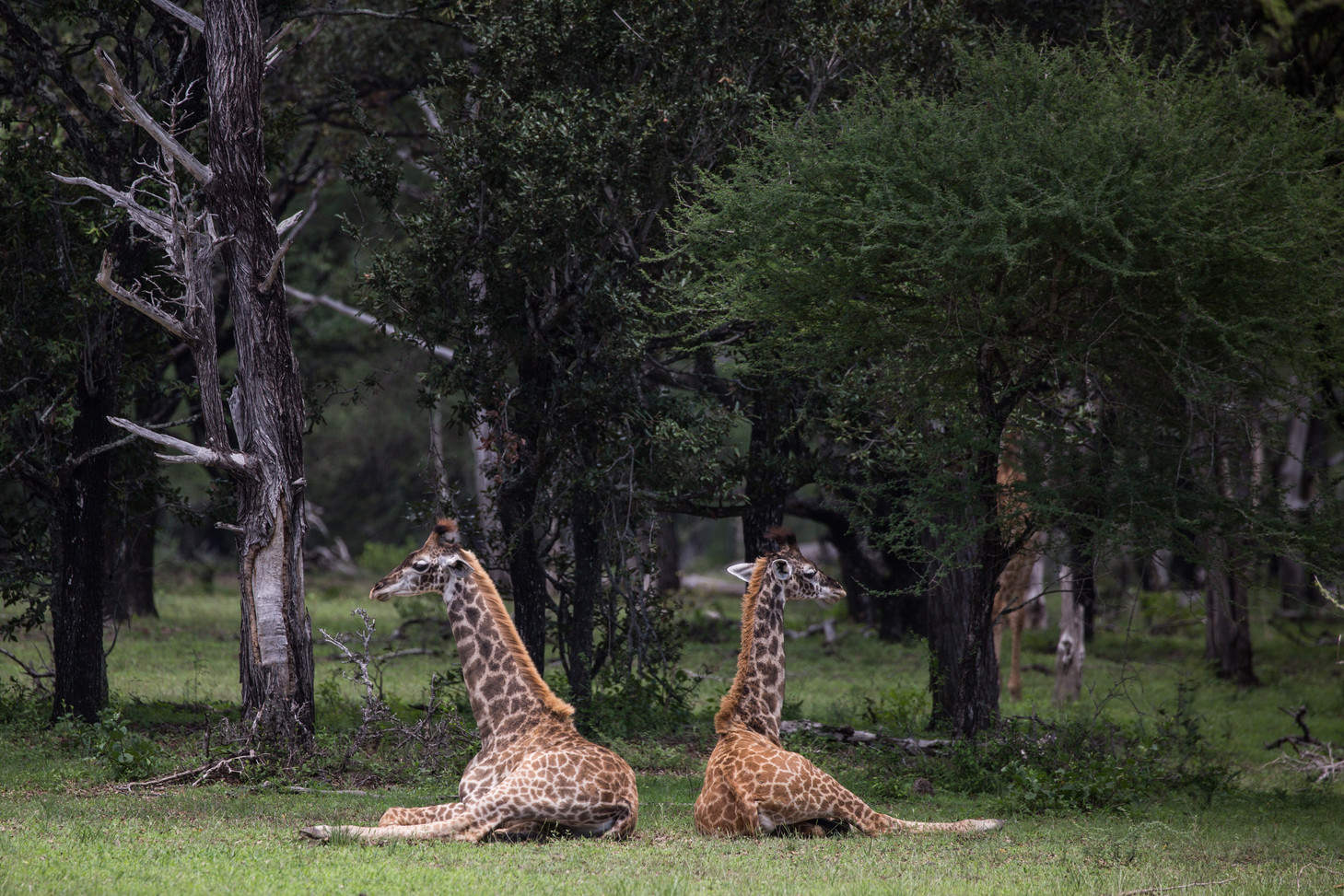 Giraffes Siwandu Nyerere Selous Tanzania