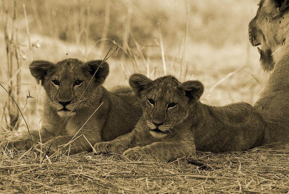 Jongomero Lion Cubs.jpg