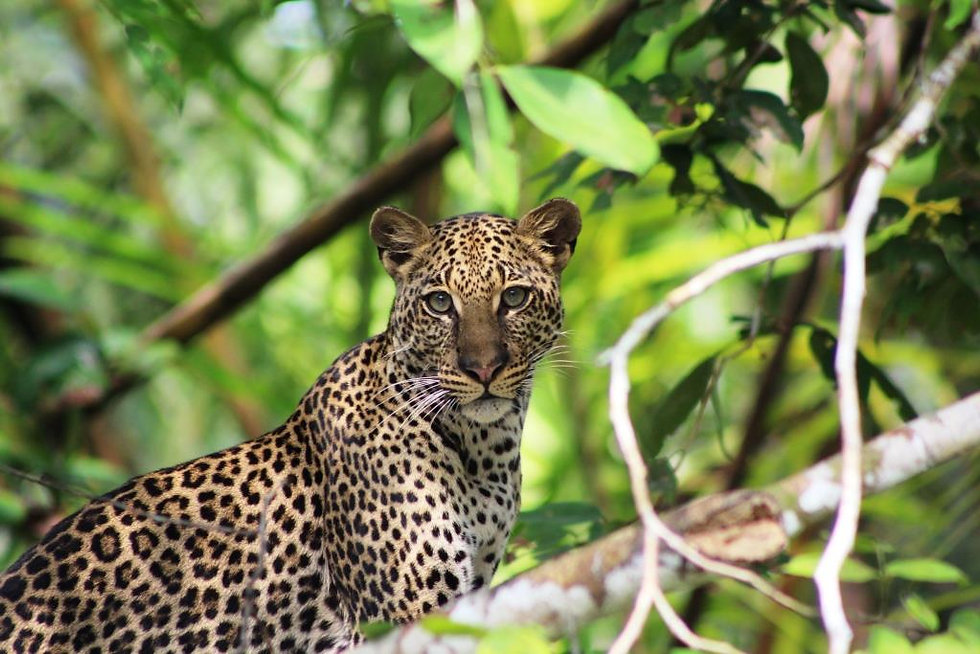 Leopard Rainforest Loango Gabon