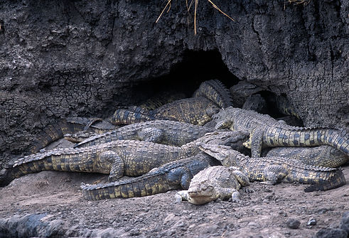 Crocodiles Katavi National Park Tanzania