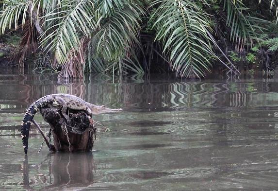 Crocodile Akaka Loango Gabon