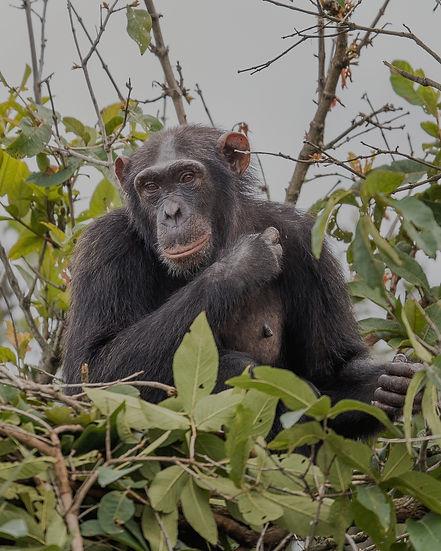 Chimpanzee Rubondo Forest Island Tanzania