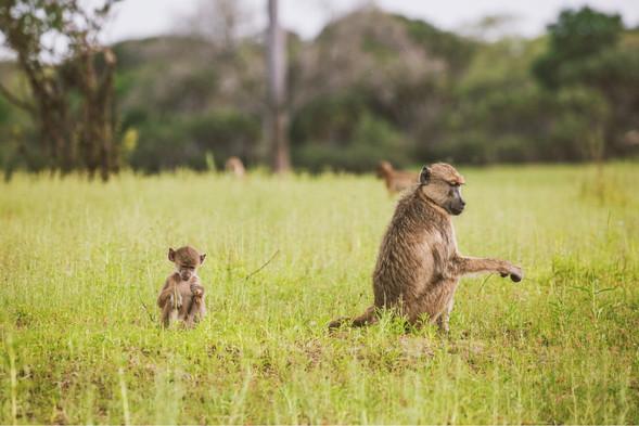 Baboons Siwandu Nyerere Selous Tanzania