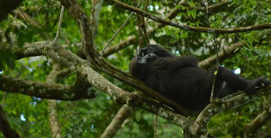 Gorilla Loango Gabon