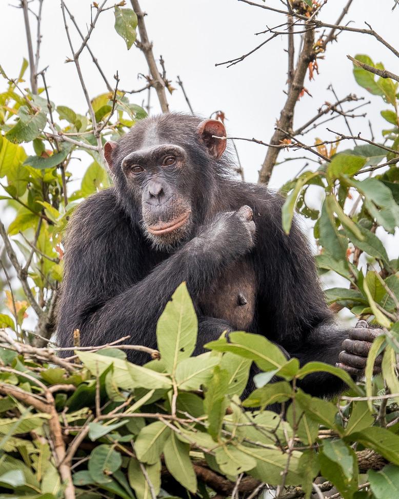 Chimpanzee in forest at Rubondo Island Tanzania