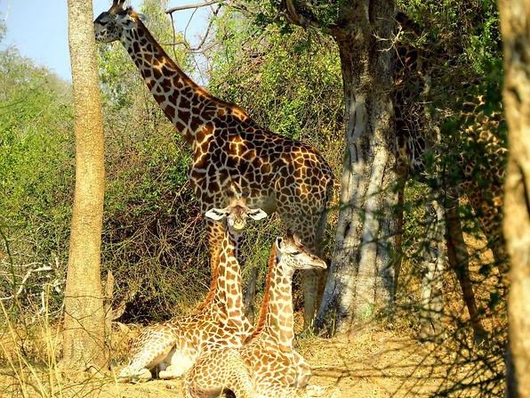 Giraffe Mother & Babies Zikomo Zambia.JP
