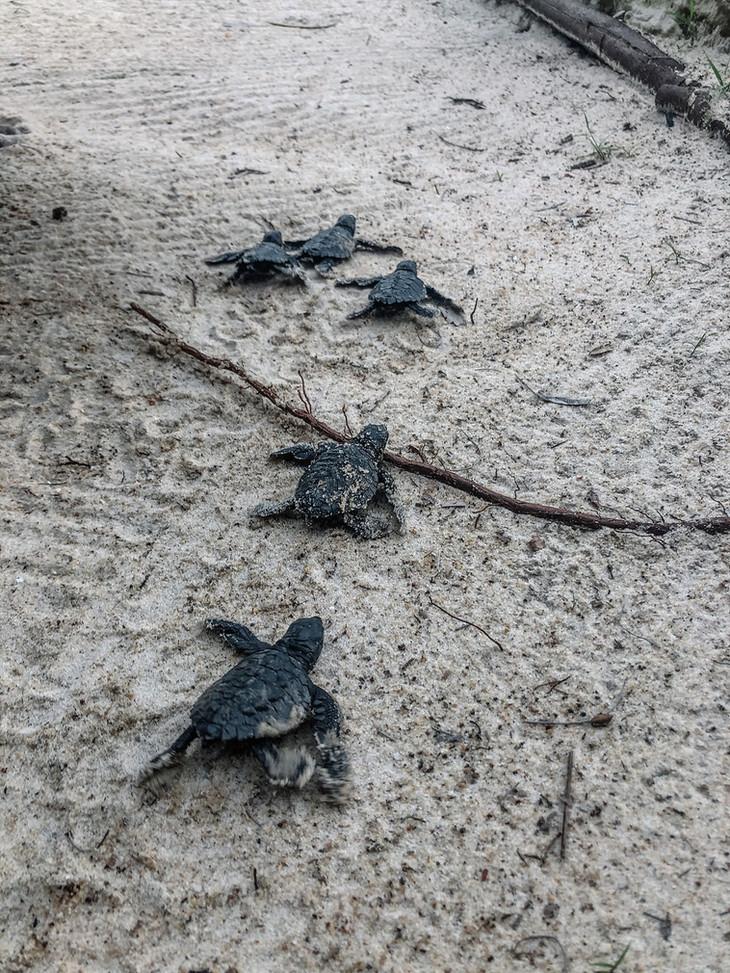 Turtle Hatchlings Pongara Gabon