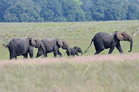 Forest Elephants Gabon