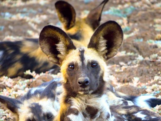 Wild Dog Painted Dog, South Lunagwa, Zikomo Zambia