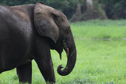African Forest Elephant Akaka Loango Gabon