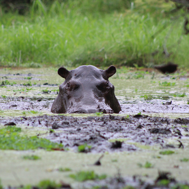 Muddy Swamp Hippopotamus