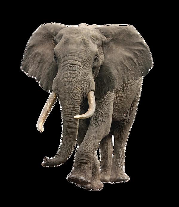 elephant%20approaching%20isolated_edited