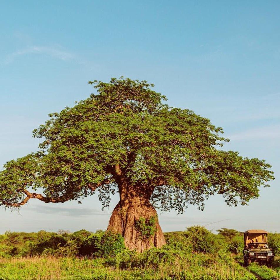 Baobab Ruaha Jongomero Tanzania