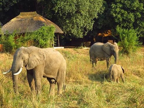 Zikomo Safari Camp Elephant South Luangwa Tanzania