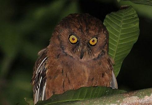 Scops Owl Conservation Forever Príncipe
