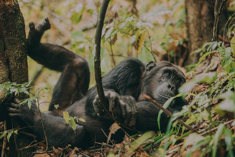 Relaxed Chimpanzee Greystoke Mahale Tanzania