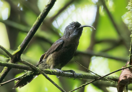 Sunbird Príncipe