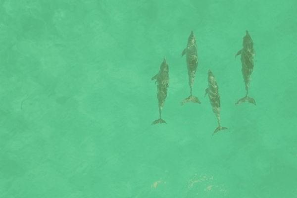 Dolphins%20Fanjove%20Island%20Tanzania_e