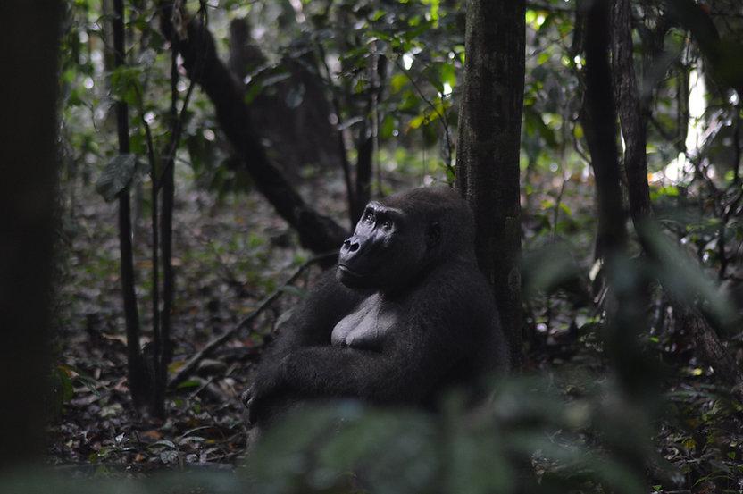 Silverback Gorilla Loango
