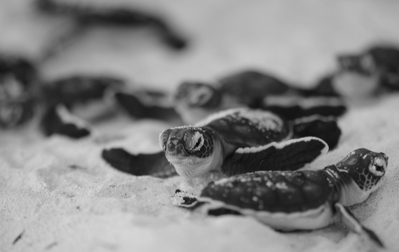 Tanzania - Fanjove Island - baby turtles
