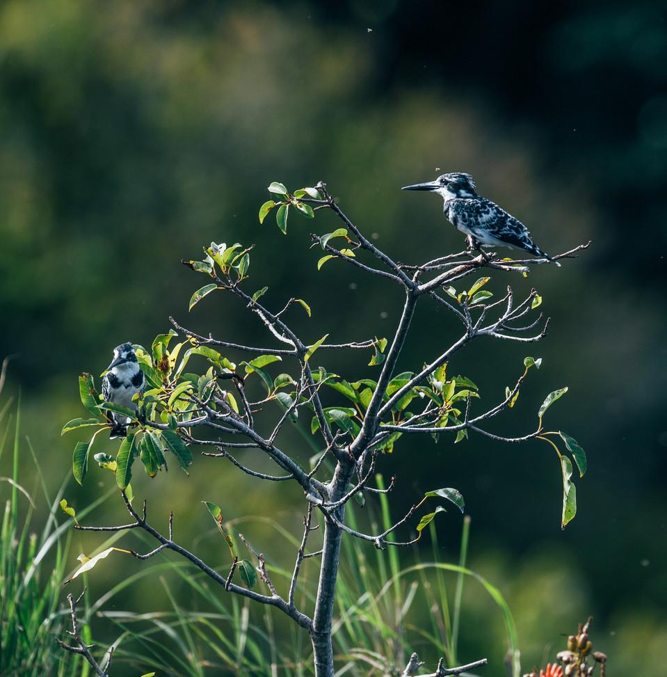 Kingfishers Rubondo Chimp Island Tanzania