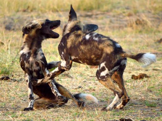 Wild Painted Dogs, South Luangwa Zambia Zikomo