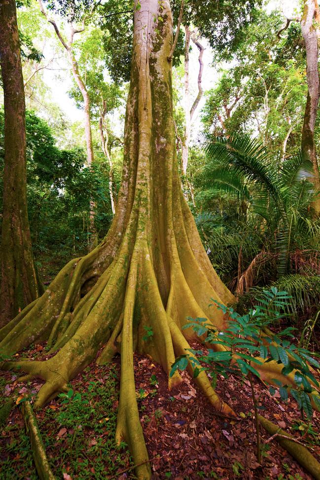 Magnificent trees surrounding Rubondo Island Chimp Camp Tanzania