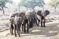 African Savanna Elephant Ruaha Nyerere Tanzania