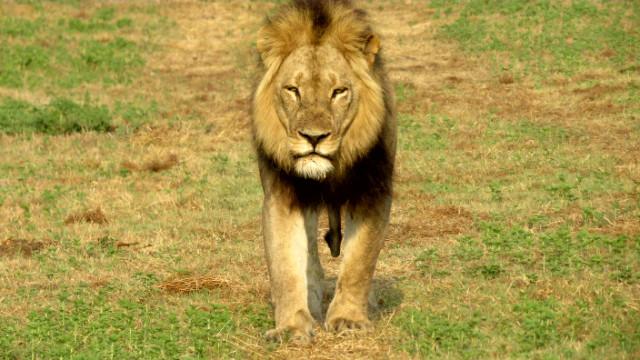 Lion South Luangwa Zikomo Zambia