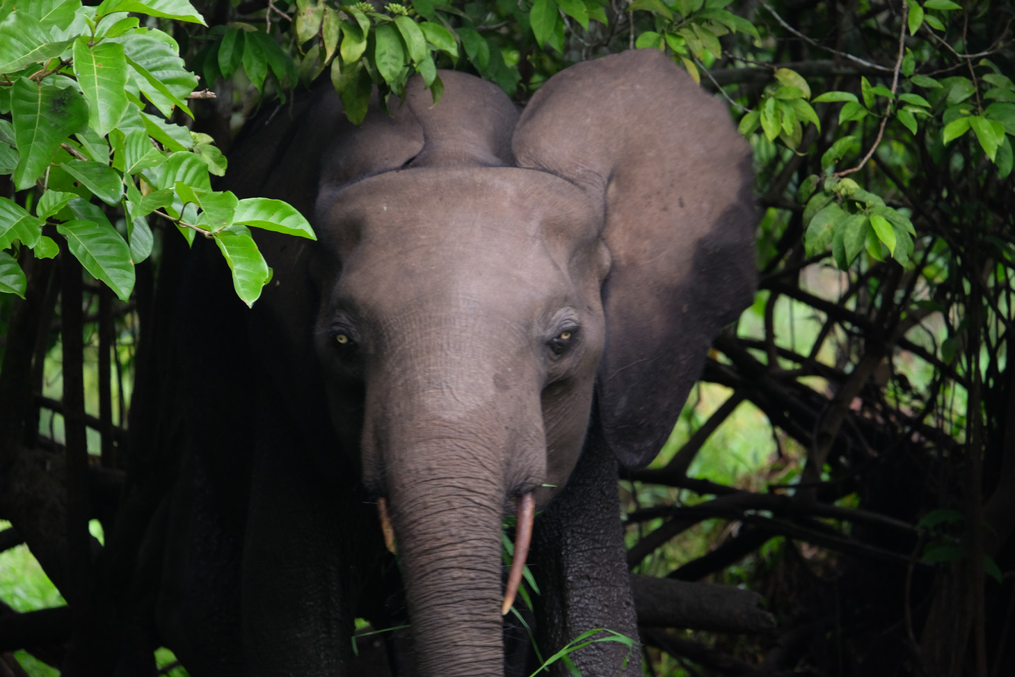 Elephant Akaka Loango Gabon