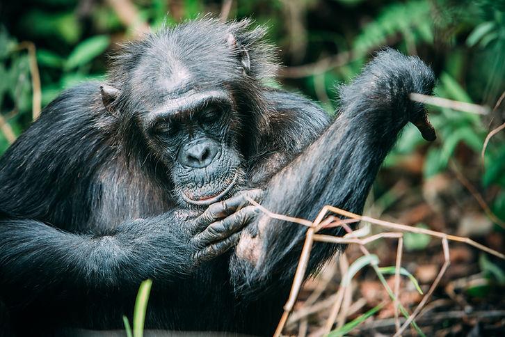 Chimpanzee trekking grooming mahale tanzania