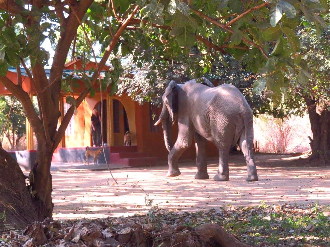 Elephant in Camp at Zikomo