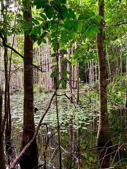 Mangrove Forest Pongara Gabon