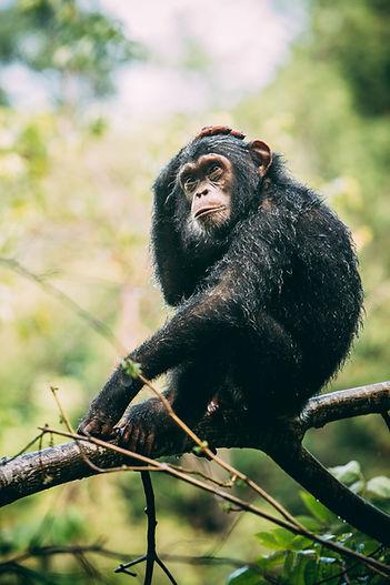 Wet Chimpanzee Trek Mahale Tanzania