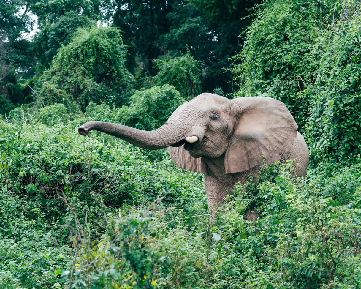 Elephant Rubondo Island Chimp Camp Tanzania