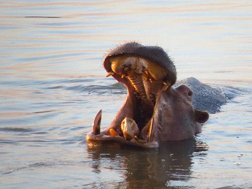 Hippo Luangwa Zikomo Zambia.JPG