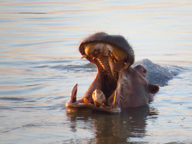 Hippo South Luangwa Zikomo Zambia
