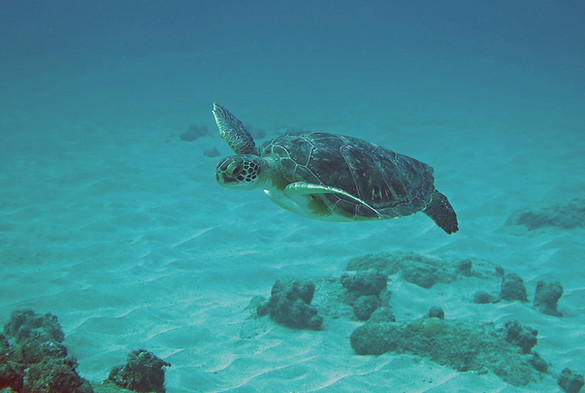 Bom Bom Diving Turtle Príncipe