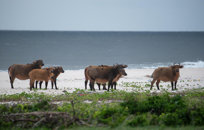 Beach Buffalos Loango Gabon